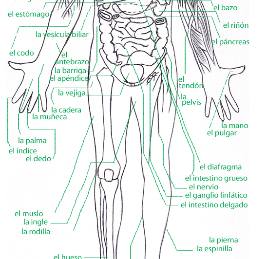 Human Anatomy Diagram In Spanish Gallery How To Guide